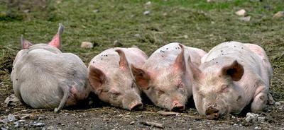 Tiere, auch Schweinchen, haben Seelen
