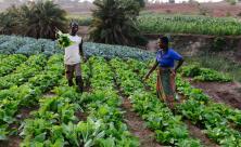 Malawi: Auf dem regelmäßig bewässerten Feld erzielen die Bauern große Erträge mit nachhaltiger Landwirtschaft Spenden und Kollekten sind die Basis der Projektarbeit von Brot für die Welt © Jörg Böthling/Brot für die Welt
